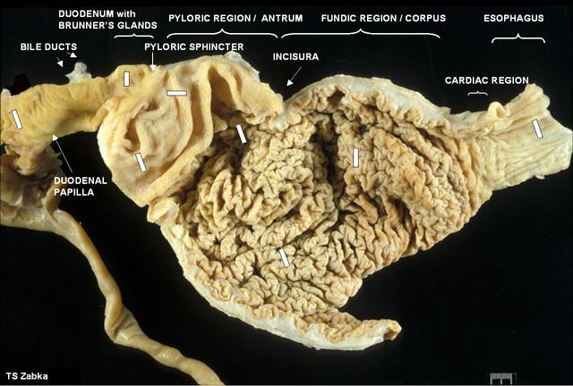 строение желудка у предков